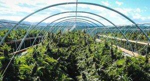 marihuana-komercyjna-uprawa-duze-rosliny-300x163