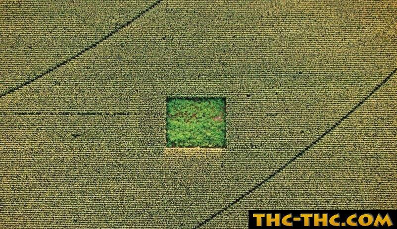 spot, kukurydza, marihuana