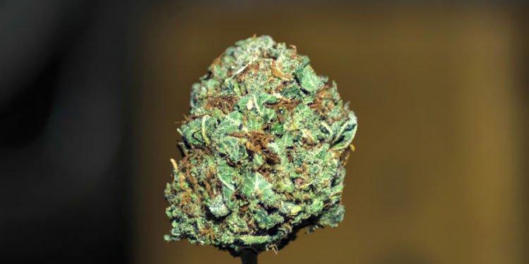 Nasiona Konopi, Nasiona Marihuany, Recenzja Odmiany, Critical Kush