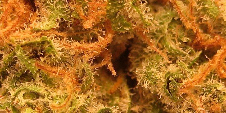 Nasiona Konopi, Nasiona Marihuany, Recenzja Odmiany, Master Kush