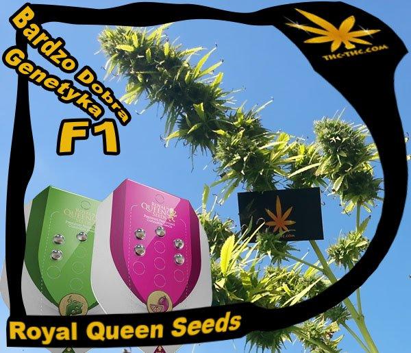 nasiona, marihuany, konopi, royal, queen