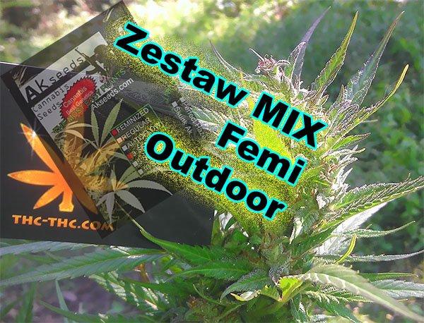 nasiona marihuany, Outdoor, akseeds