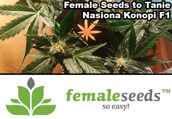nasiona, marihuany, konopi, f1, auto, femi, female, seeds