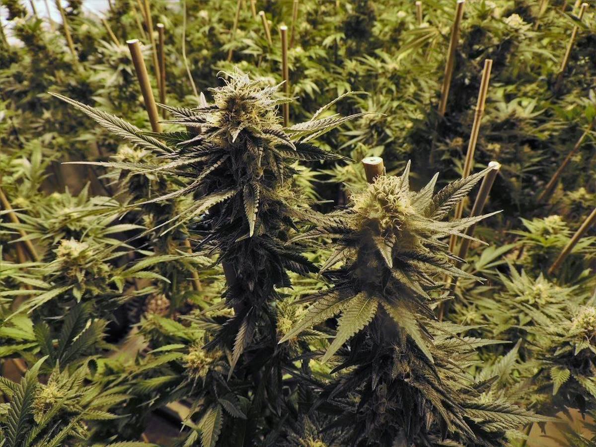 odmiany, afghani, nasiona marihuany, konopi indyjskich, cannabis, indoor
