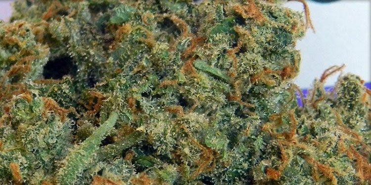 Nasiona Konopi, Nasiona Marihuany, Recenzja Odmiany, Amnesia Haze