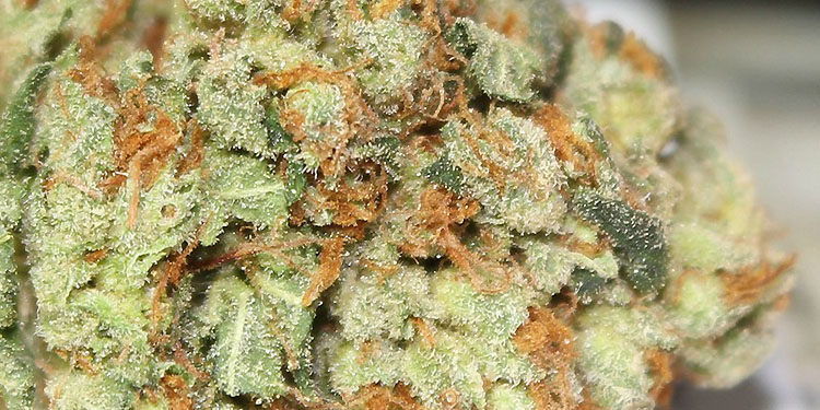Nasiona Konopi, Nasiona Marihuany, Recenzja Odmiany, Skywalker