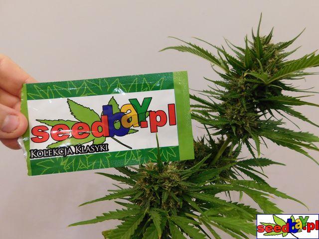 sklep, z nasionami marihuany, konopi, seedbay